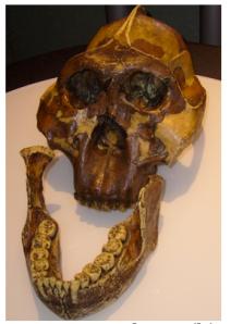 Craneo y mandíbula de un Zinjanthropus boisei , descubierto por Mary Leakey en 1959