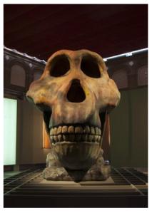 Cráneo de Homínido que preside la Exposición del Museo Regional de la Comunidad de Madrid en Alcalá de Henarés.
